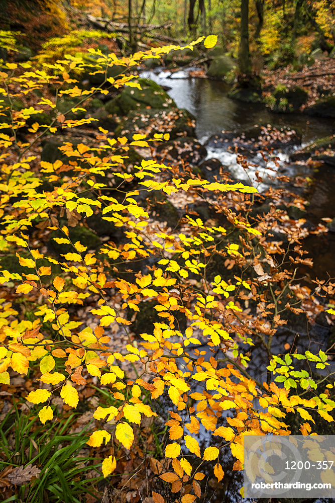 Beech leaves (Fagus sylvatica) and stream in autumn, Padley Gorge, Peak District National Park, Derbyshire, England, United Kingdom, Europe