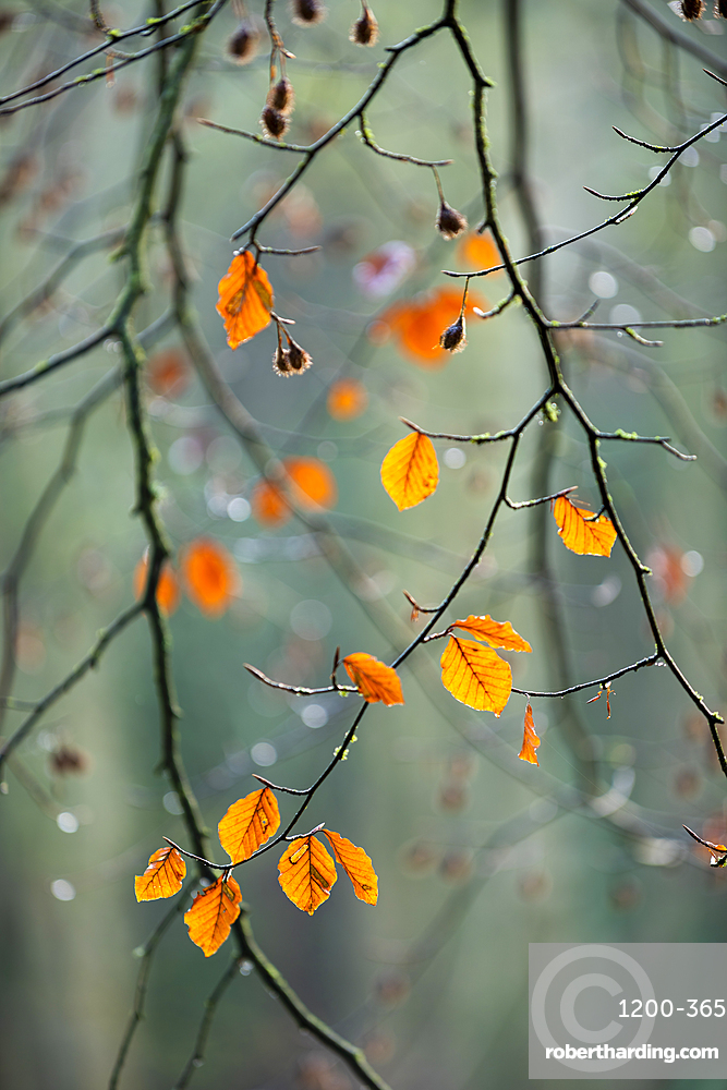 Common beech (Fagus sylvatica) leaves, autumn colour, King's Wood, Challock, Kent, England.