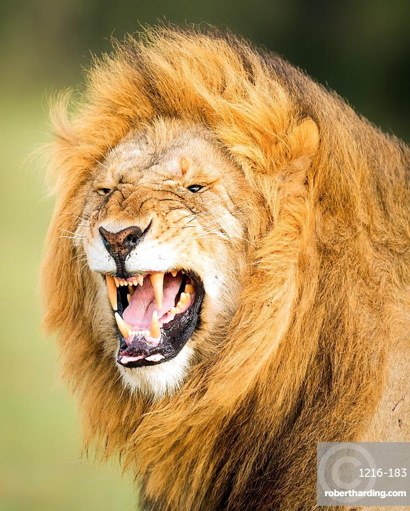 Roaring Lion, Masai Mara, Kenya, East Africa, Africa