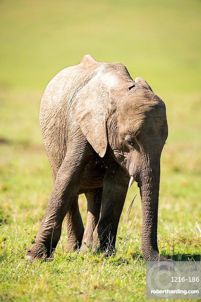 Young elephant, Masai Mara, Kenya, East Africa, Africa