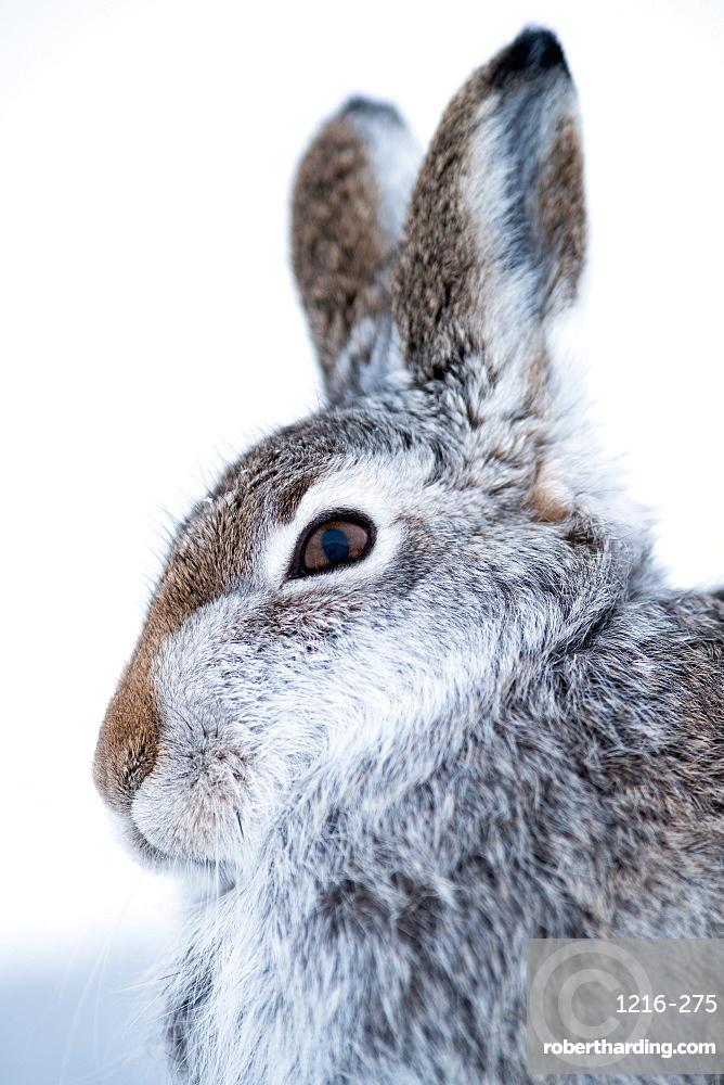 Mountain Hare (Lepus timidus ) in the Scottish Highlands, Scotland, UK