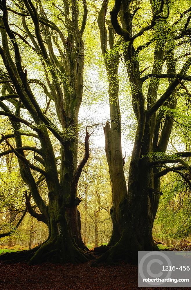 Two symmetrical trees, Kinclaven Bluebell Forest, Scottish Highlands, Scotland, UK