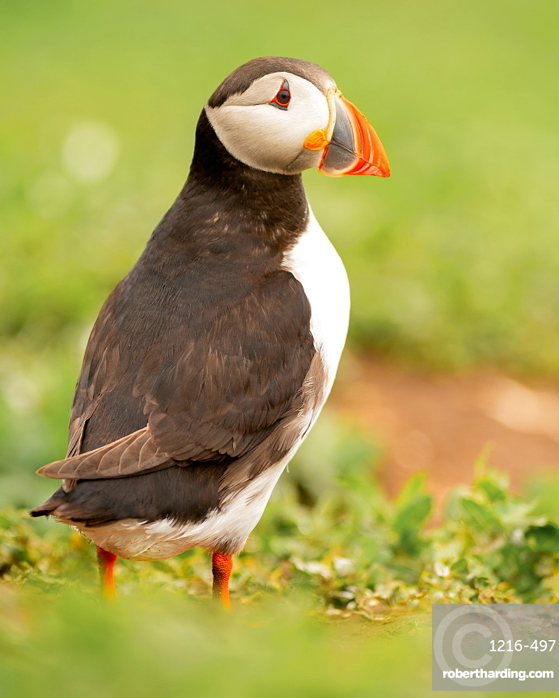 Puffin (Fratercula), Farne Islands, Northumberland, England, United Kingdom, Europe