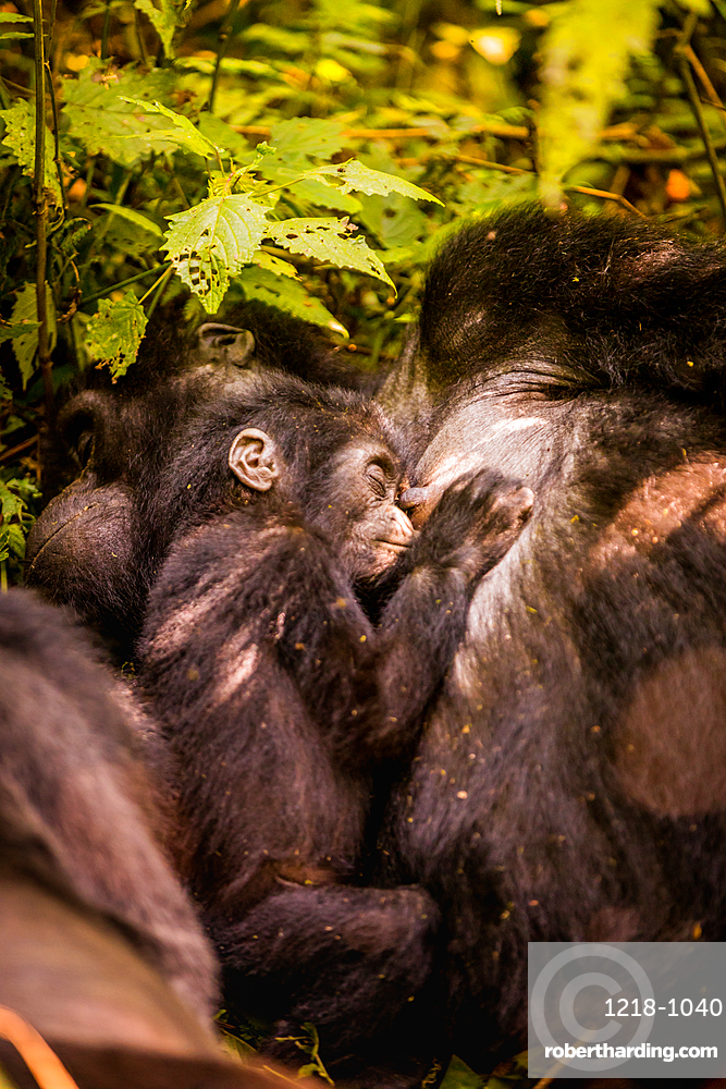 Mountain Gorillas in Bwindi Impenetrable Forest National Park, UNESCO World Heritage Site, Uganda, East Africa, Africa