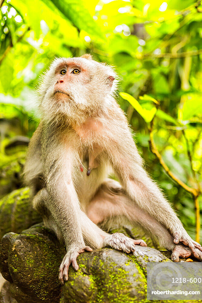 Sacred Monkey Forest in Ubud, Bali, Indonesia, Southeast Asia, Asia