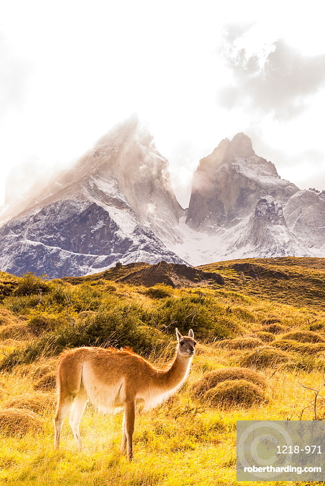Guanaco posing in the wild of Torres del Paine National Park, Patagonia, Chile