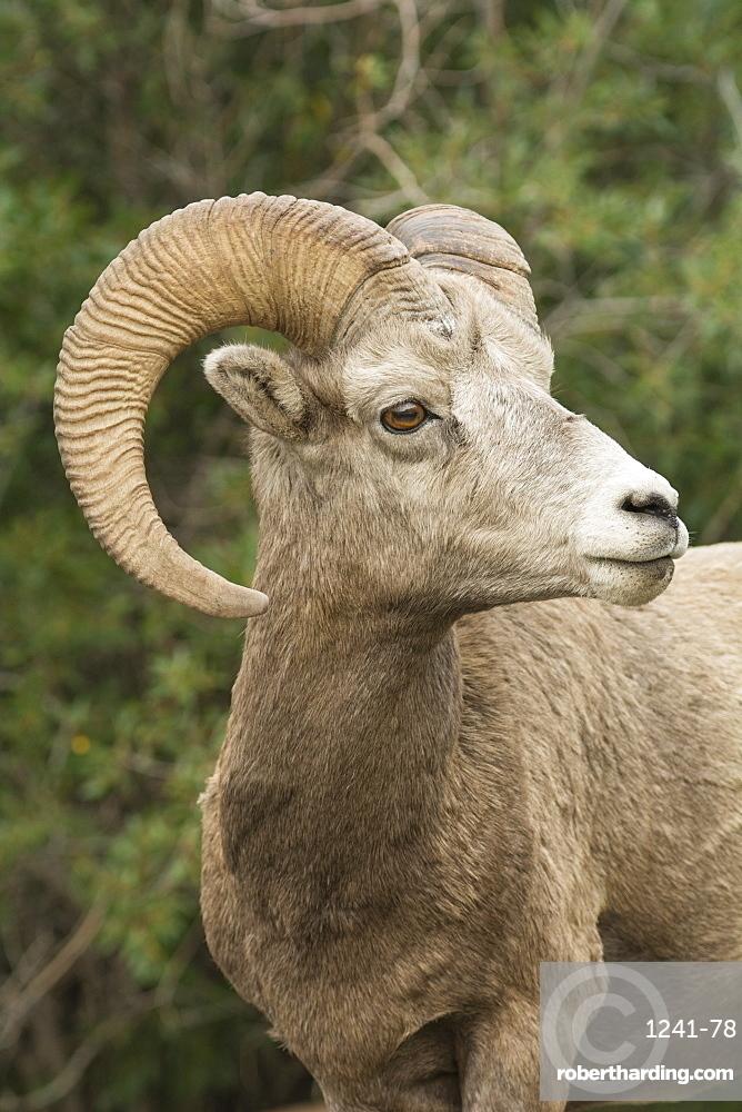Close up portrait of a wild Rocky Mountain Bighorn Sheep (Ovis canadensis), Jasper National Park, Canada, North America