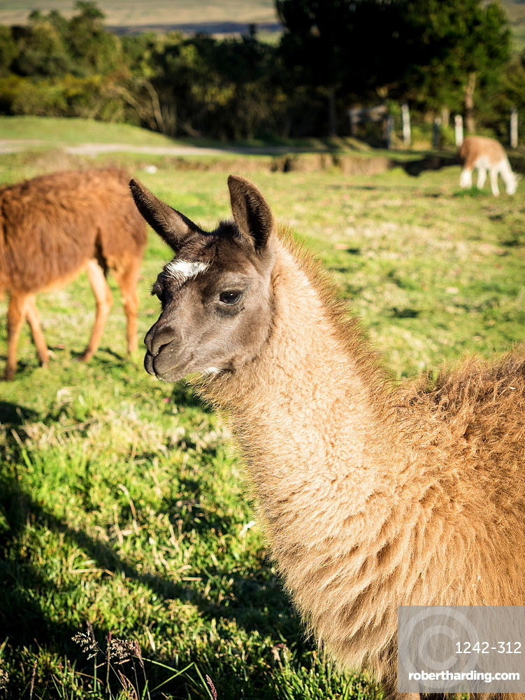 Llama, Cotopaxi region, Andes mountains, Ecuador, South America