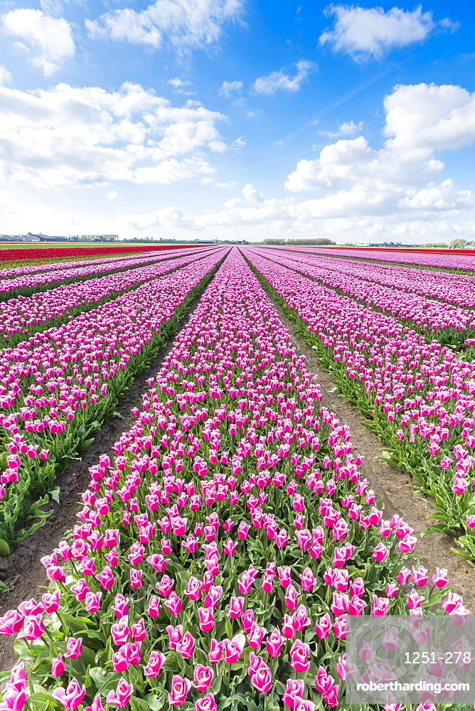 Pink and white tulips and clouds in the sky, Yersekendam, Zeeland province, Netherlands, Europe