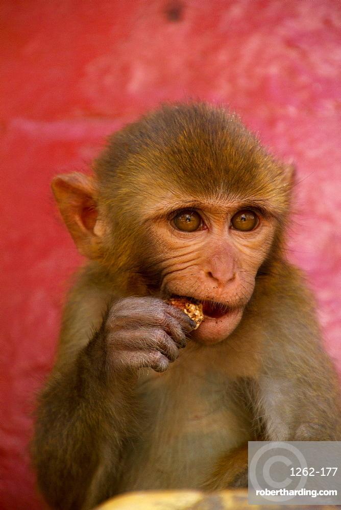 Monkey of the Swayambhunath Monkey Temple, Kathmandu, Nepal, Asia