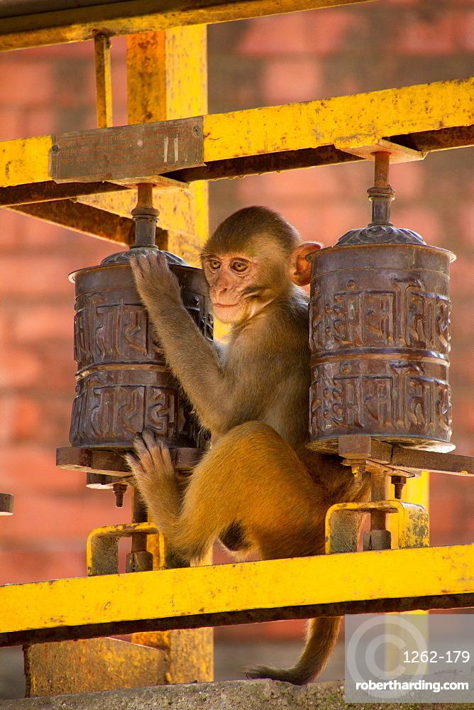 Monkey and Buddhist prayer wheels, the Swayambhunath Monkey Temple, Kathmandu, Nepal, Asia