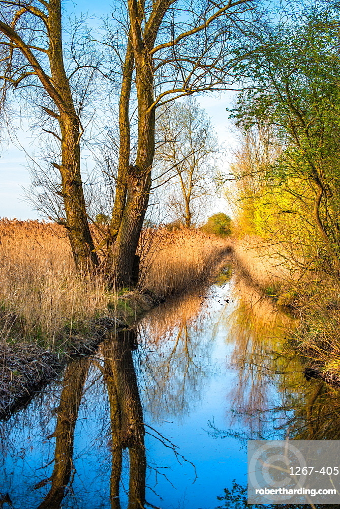 Reed beds reflecting on a waterway in warm evening light at Wicken Fen Nature reserve in Cambridgeshire, England, UK.
