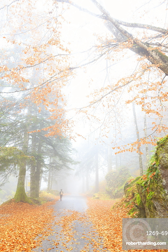 One person walk in the forest of Bagni di Masino, Valmasino, Valtellina, Lombardy, Italy, Europe