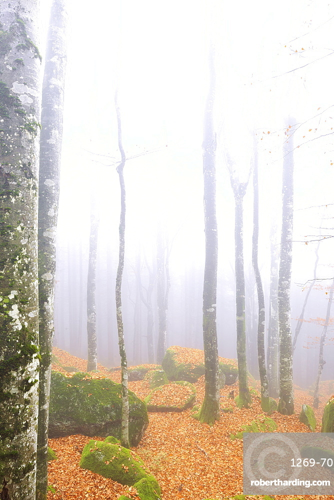 Fog in the forest of Bagni di Masino during autumn, Valmasino, Valtellina. Lombardy, Italy, Europe