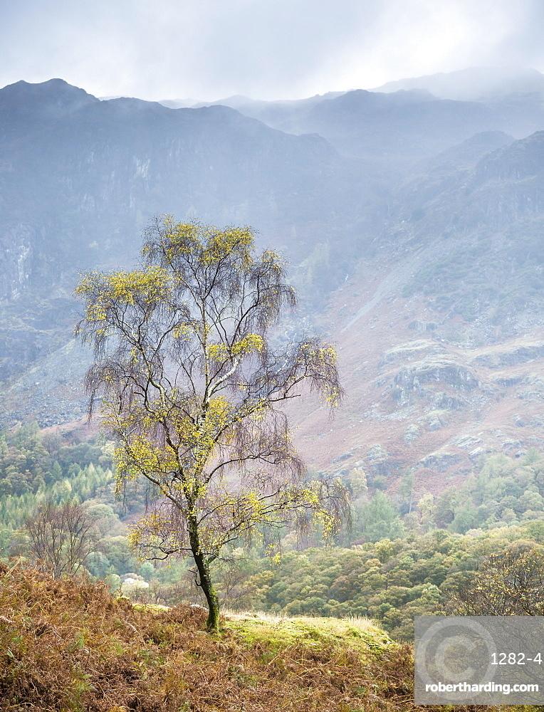 Lone tree, Grange, Lake District, Cumbria, England, United Kingdom, Europe