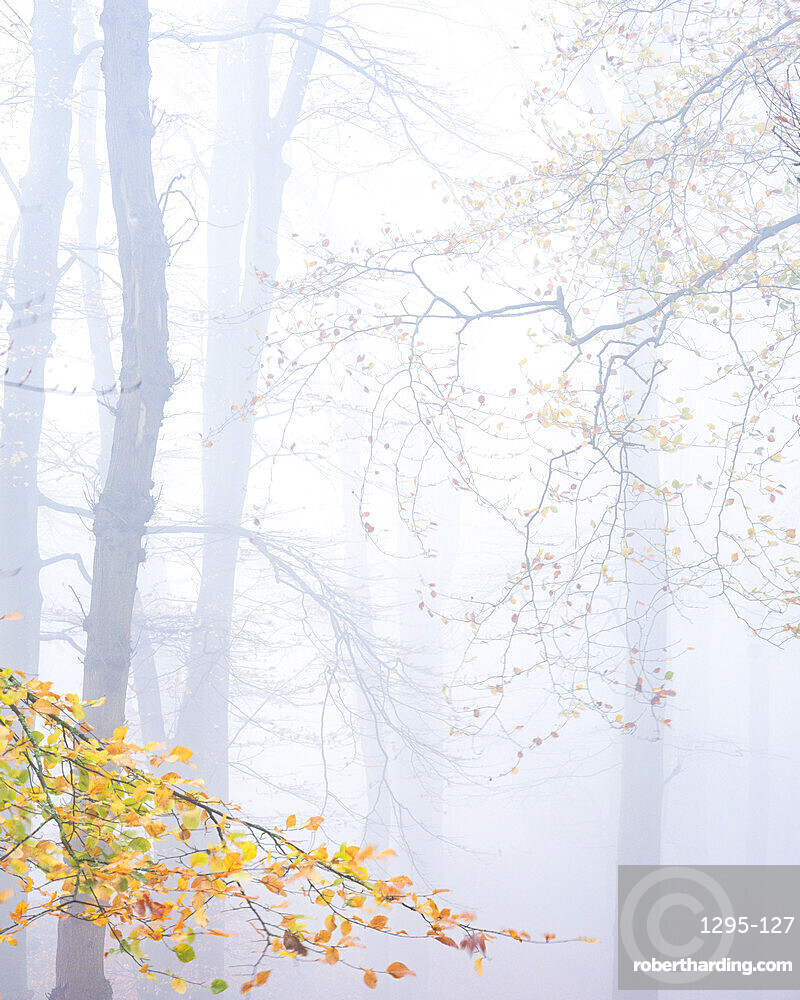 Heavy fog amongst Beech trees in Autumn with their attractively coloured leaves at Woodbury Castle, near Exmouth, Devon, UK.