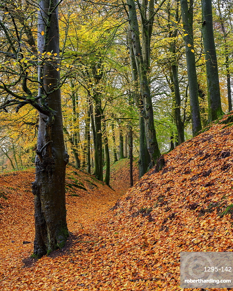 Beech trees in Autumn with their attractively coloured leaves at Woodbury Castle, near Exmouth, Devon, UK.