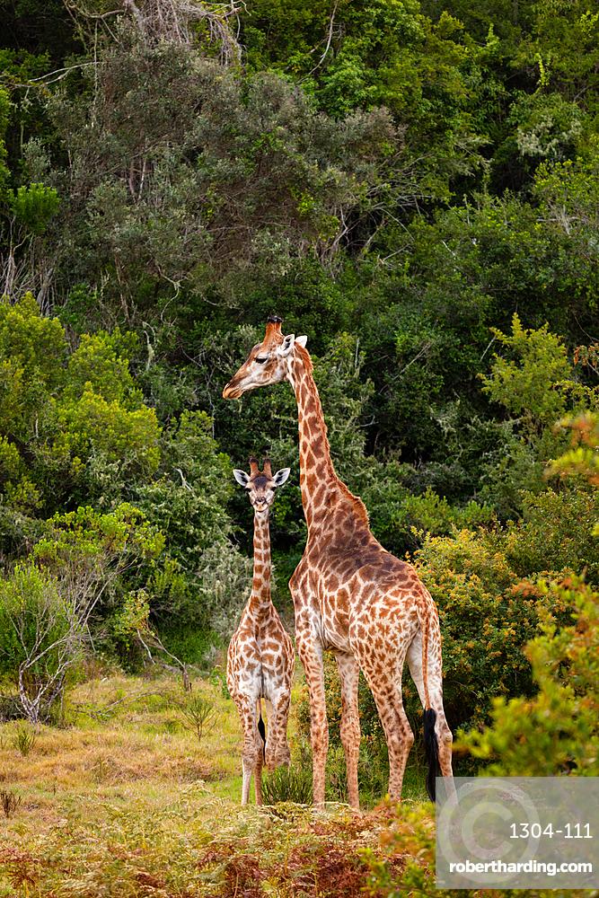 Giraffes on Safari in South Africa, in a private game reserve.