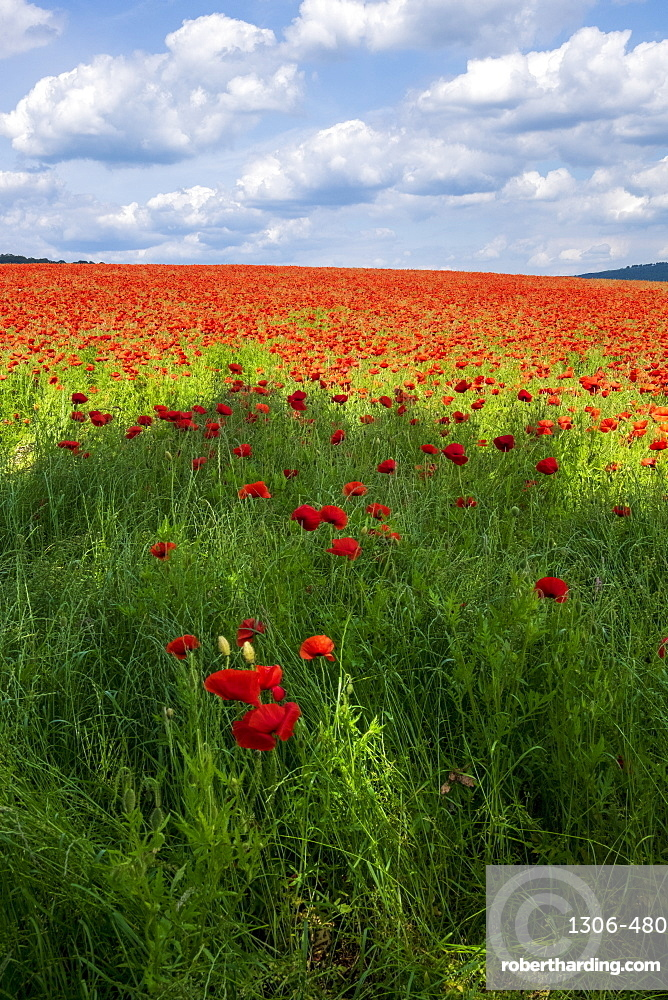A field of poppies set in the beautiful Derbyshire countryside, Baslow, Derbyshire