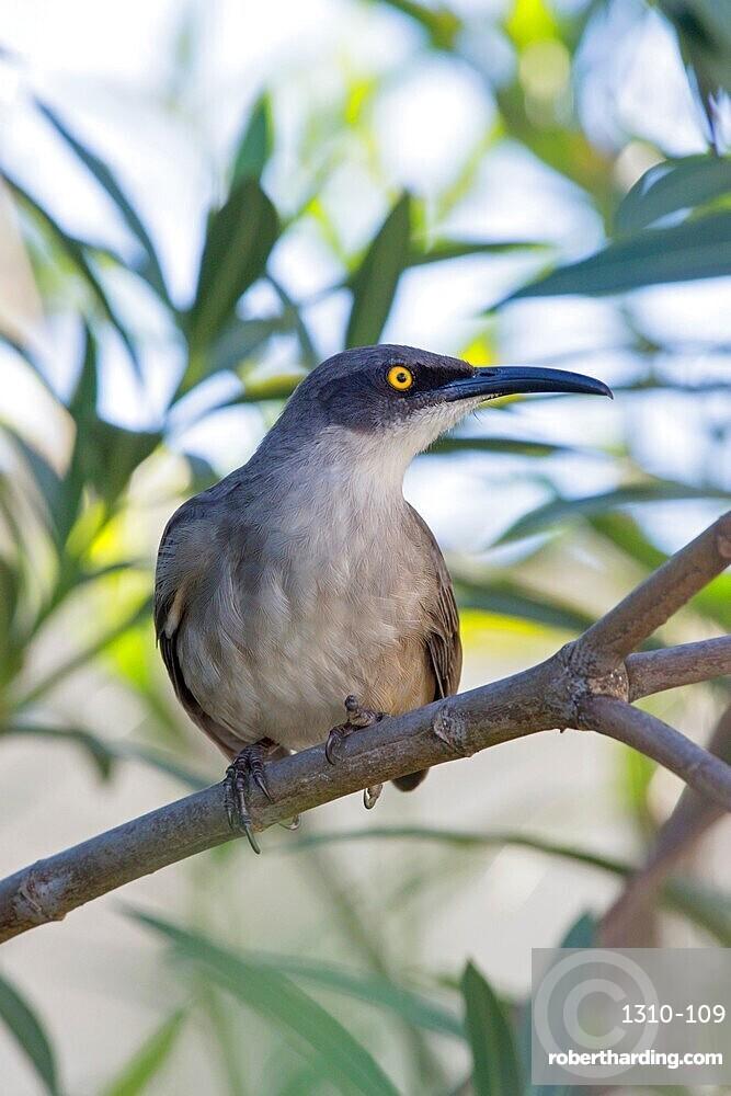 Grey trembler, Cinclocerthia gutturalis, Marigot Bay, Castries, St Lucia, Lesser Antilles, West Indies