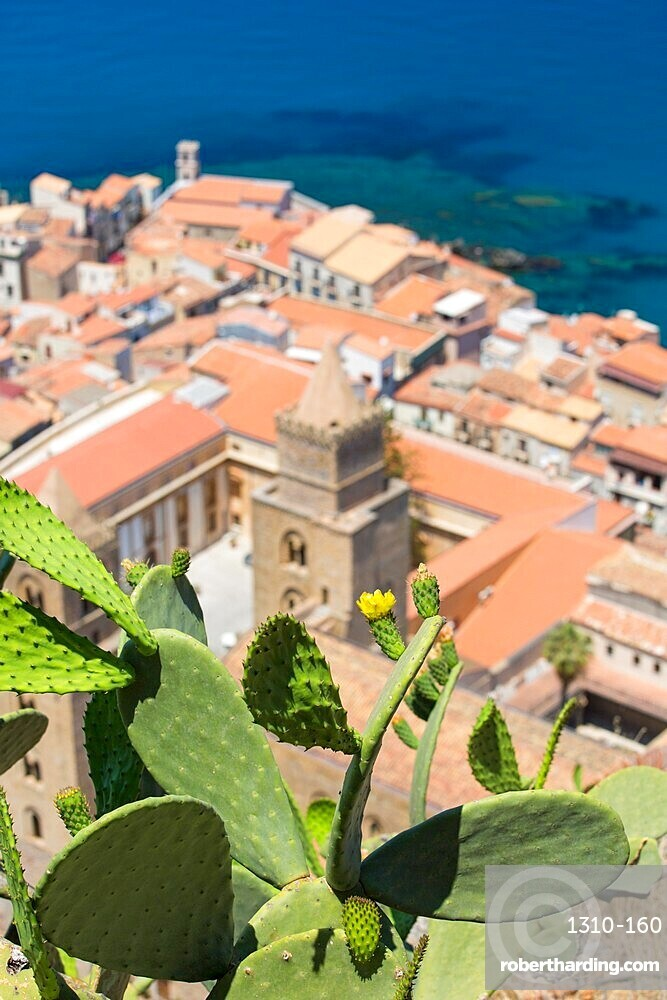 Prickly pear cactus, Opuntia ficus-indica, growing on La Rocca, high above the Old Town, Cefalu, Palermo, Sicily, Italy