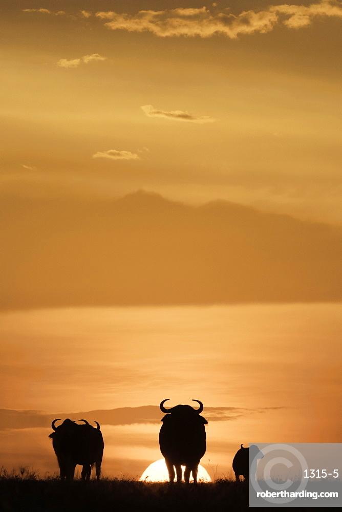 Cape buffalo in silhouette at sunset on the Maasai Mara, Kenya