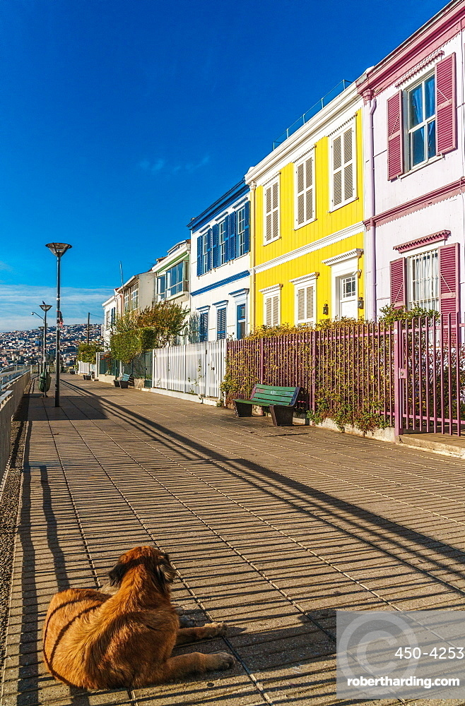 Brightly coloured clapboard houses on Paseo Atkinson with dog in foreground, Valparaiso, UNESCO World Heritage Site, Chile, South America