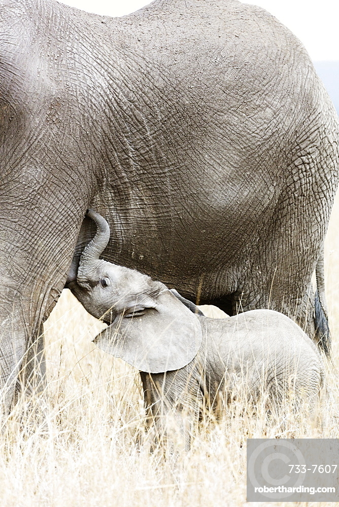 East Africa, Tanzania, safari in the Serengeti National Park, Unesco site, baby African elephant (Loxodonta) and mother