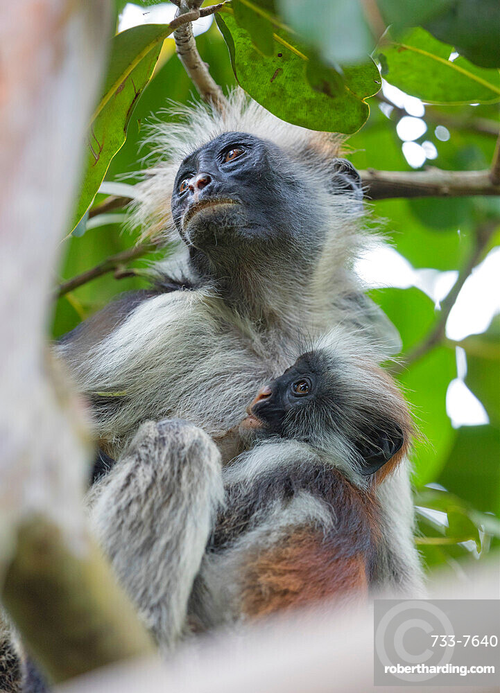 East Africa Tanzania, Zanzibar island, Jozani Chwaka Bay National Park, Jozani forest, endemic Red Colobus monkey (Piliocolobus)