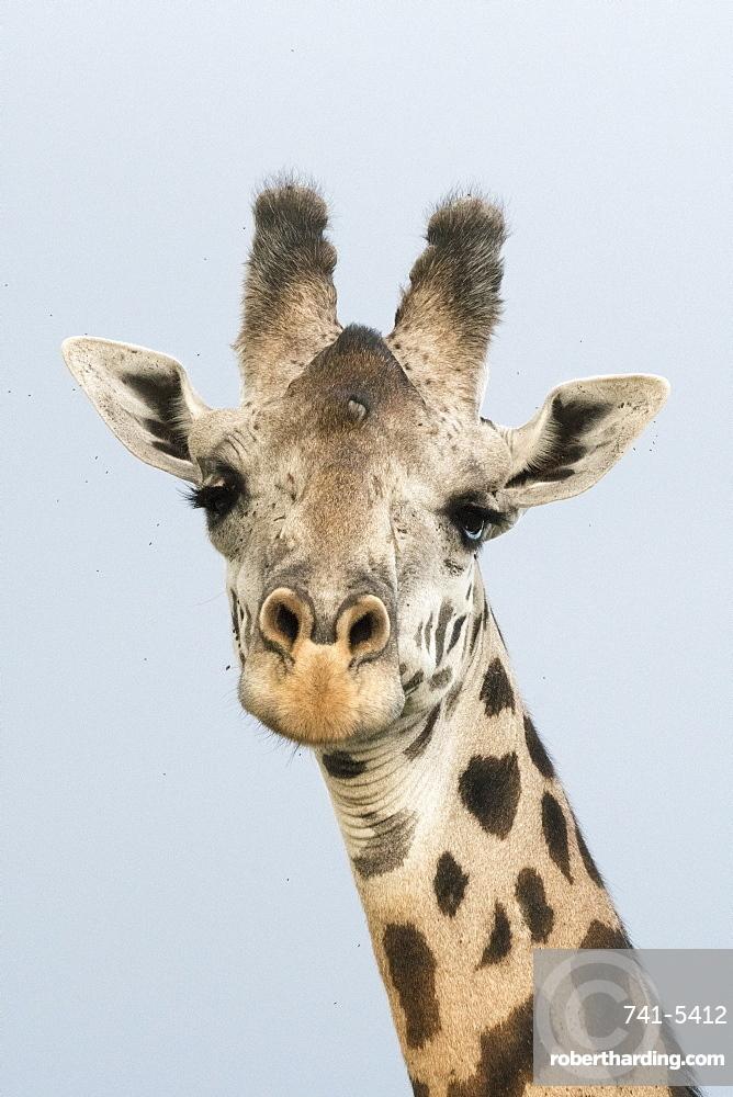 Portrait of a giraffe (Giraffa camelopardalis), Tsavo, Kenya, East Africa, Africa