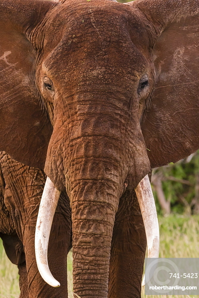 Portrait of an African elephant (Loxodonta africana), looking at the camera, Tsavo, Kenya, East Africa, Africa