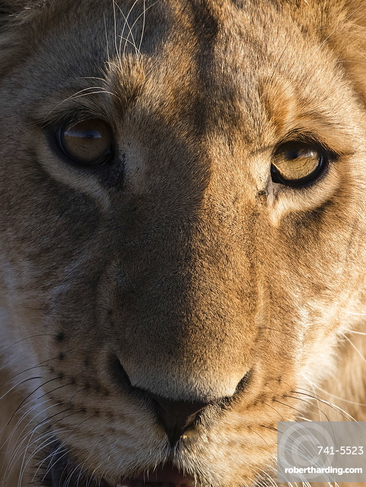 Close up view of a young lion (Panthera leo), Botswana, Africa