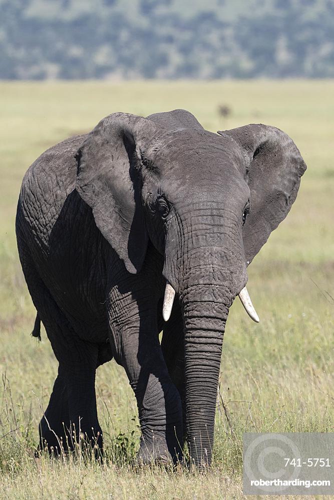 African elephant (Loxodonta africana), Seronera, Serengeti National Park, Tanzania.