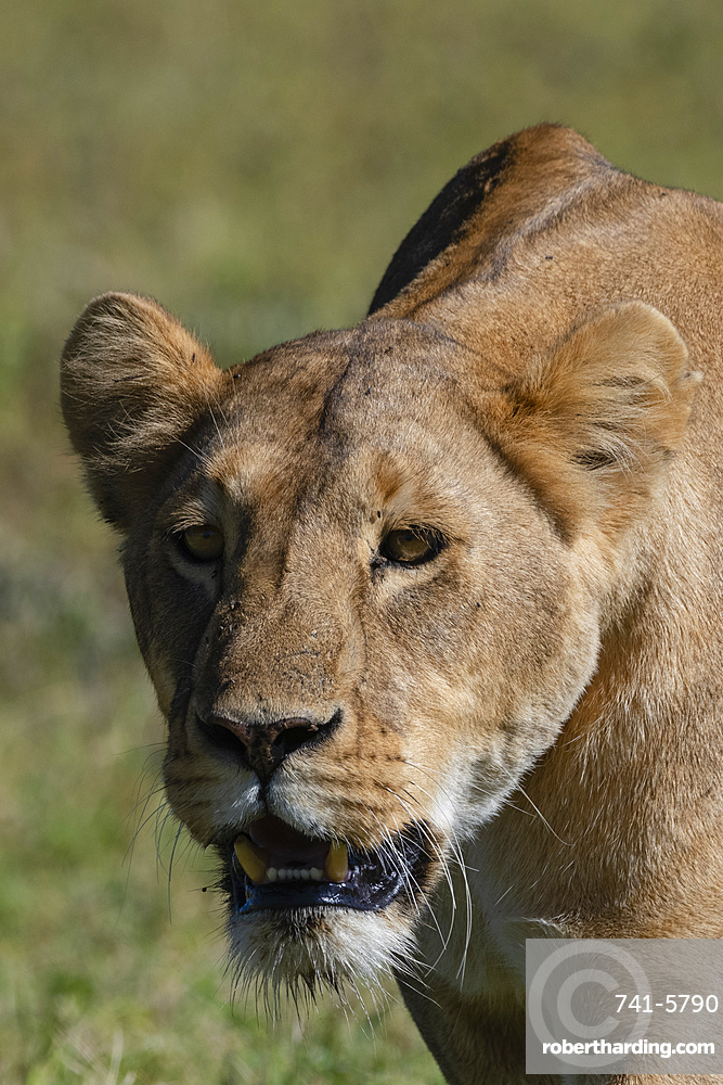Lioness (Panthera leo), Ngorongoro crater, Ngorongoro Conservation Area, UNESCO World Heritage Site, Tanzania, East Africa, Africa