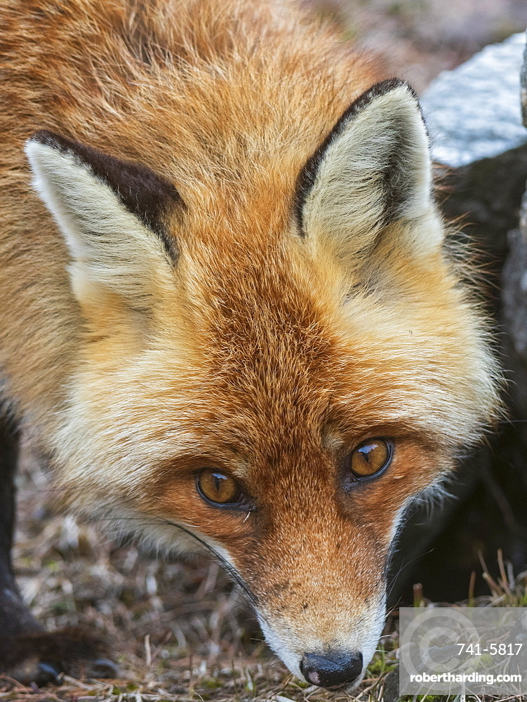 Red fox (Vulpes vulpes), Valsavarenche, Gran Paradiso National Park, Aosta Valley, Italy.