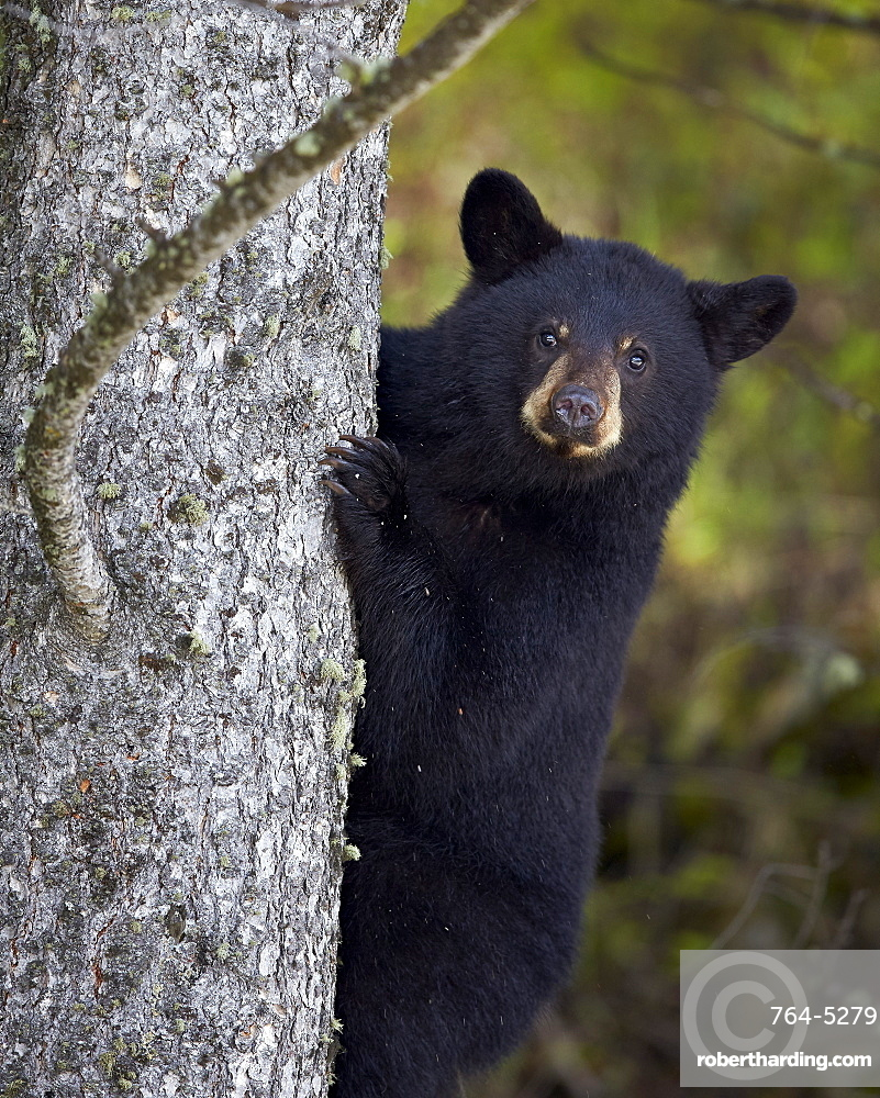Black bear (Ursus americanus) yearling cub climbing a tree, Yellowstone National Park, Wyoming, United States of America, North America
