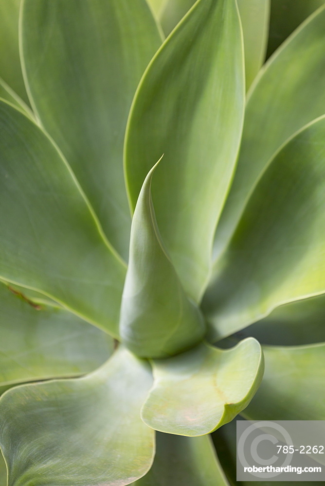 Detail of an Agave plant on the volcanic Canaries island of Fuerteventura