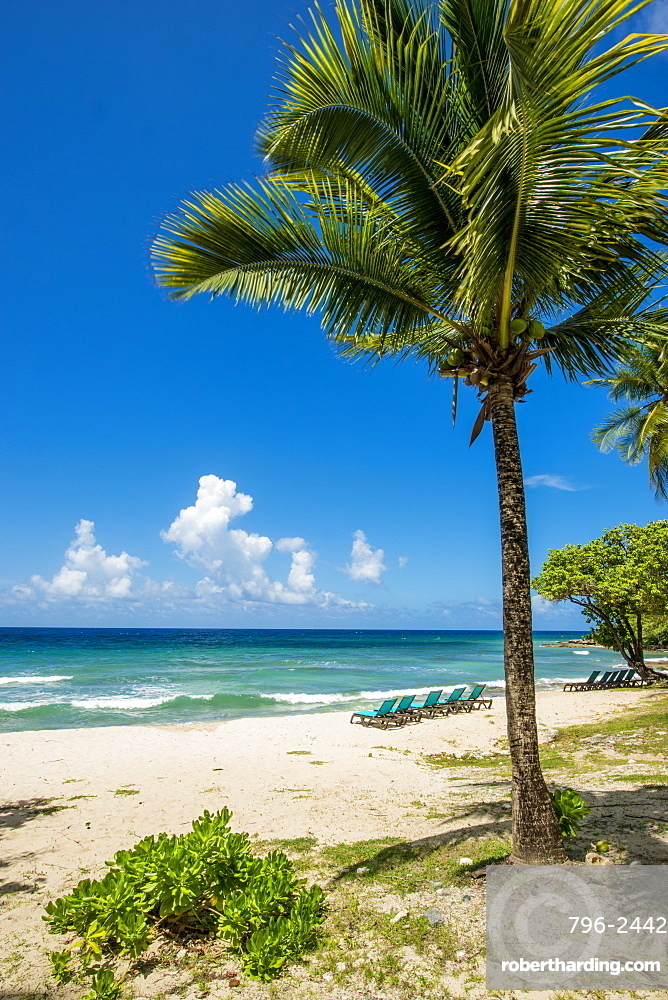 Palm tree at Carambola Beach Resort in Saint Croix, US Virgin Islands