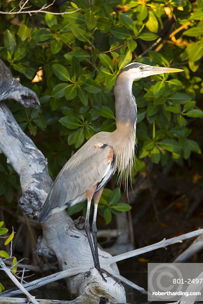 Great Blue Heron (Ardea Herodias), Rio Lagartos Biosphere Reserve, Rio Lagartos, Yucatan, Mexico, North America