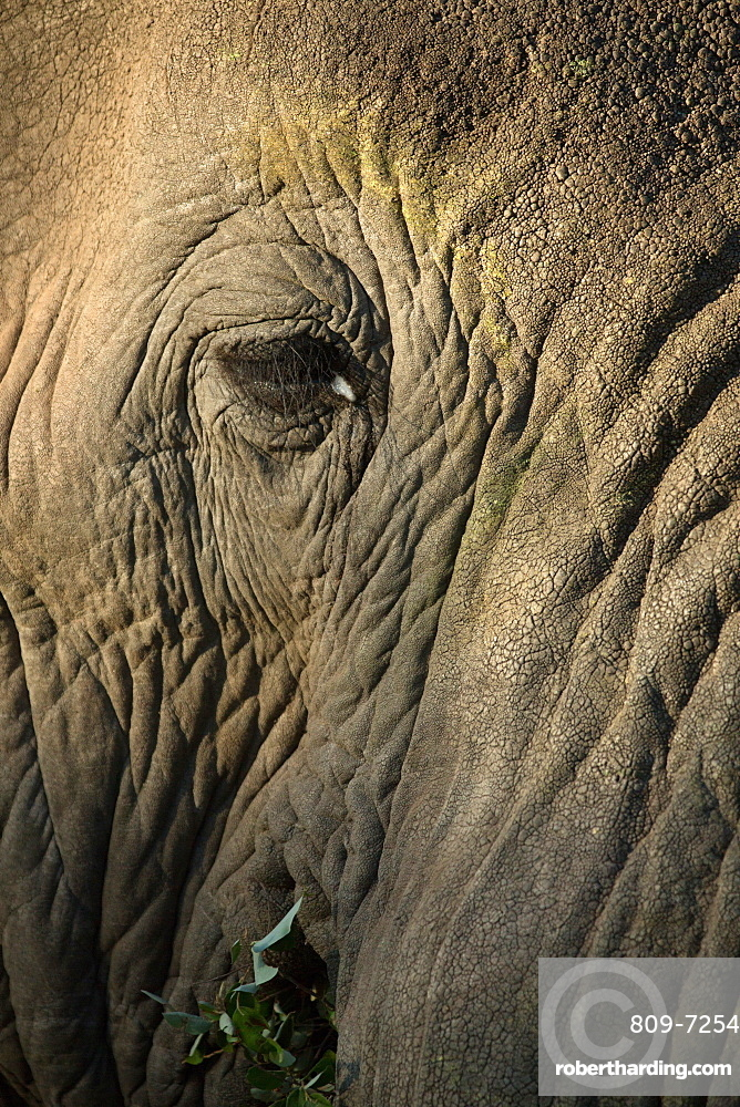 Kruger National Park. African Elephant (Loxodonta africana). Close-up of an eye. South Africa.