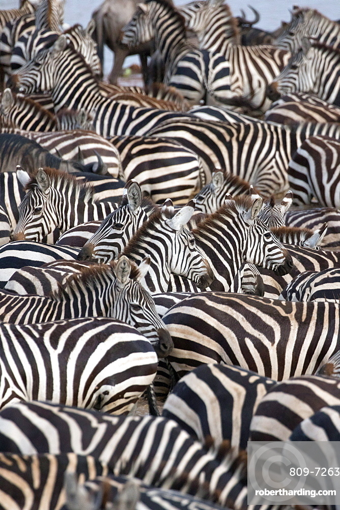 Serengeti National Park. Zebra surrounded with black and white stripes. Tanzania.