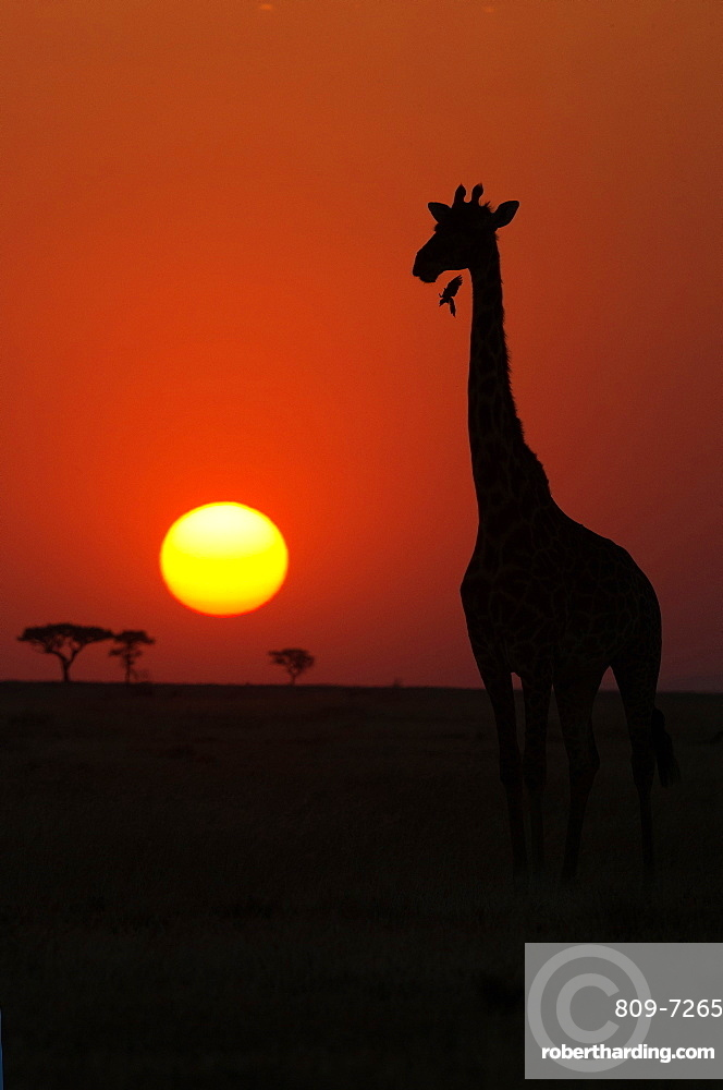 Serengeti National Park. Giraffe ( (Giraffa camelopardalis ) at sunset. Silhouette. Tanzania.
