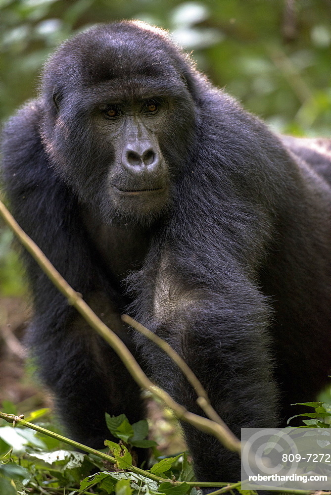 Uganda, Bwindi Impenetrable National Park, Bwindi Impenetrable Forest, mountain gorilla. (Gorila beringei beringei),