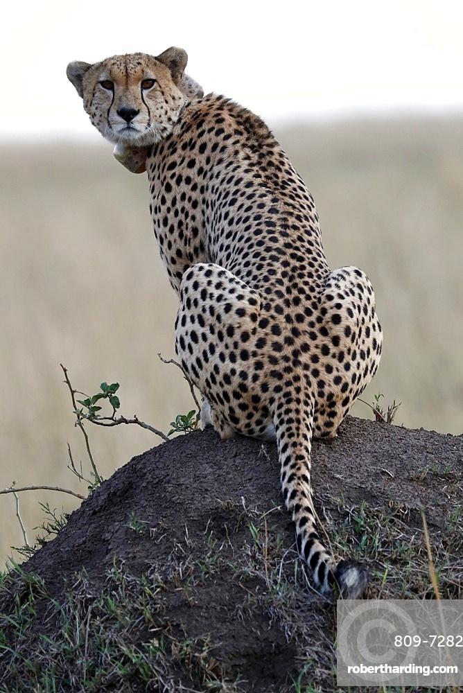 Cheetah female (Acinonyx jubatus) with radio collar, Masai Mara Game Reserve, Kenya, East Africa, Africa