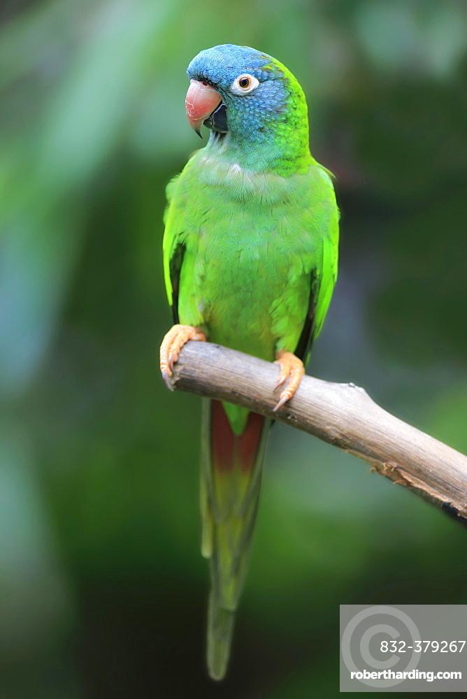 Sharp-tailed Parakeet, (Thectocercus acuticaudatus), adult on wait, captive, occurrence South America