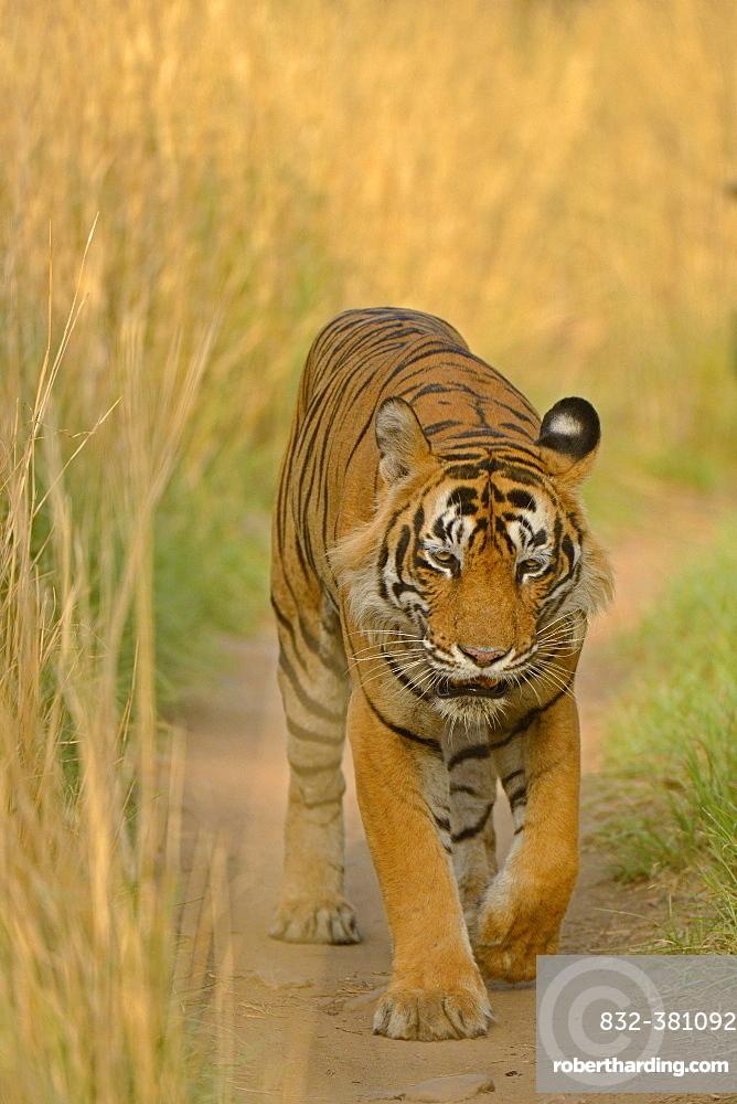 Bengal Tiger (Panthera tigris tigris) walking along path, Ranthambhore National Park, Sawai Madhopur, India, Asia
