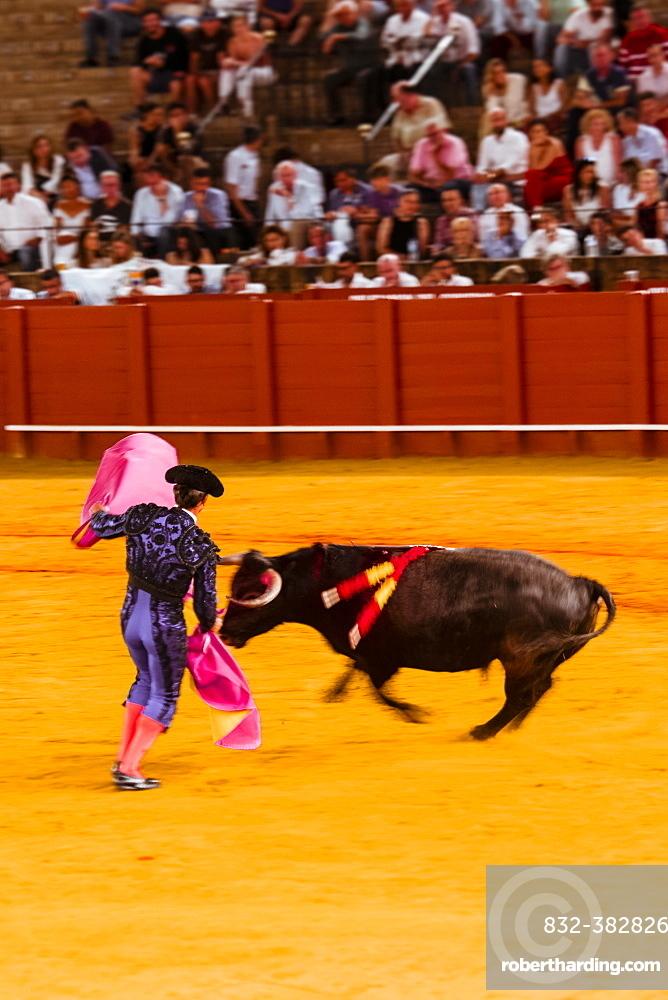 Racing bull with matador, torero or toureiro in traditional clothes, bullfighting, bullring Plaza de Toros de la Real de Maestranza de Caballeria de Sevilla, Sevilla, Andalusia, Spain, Europe