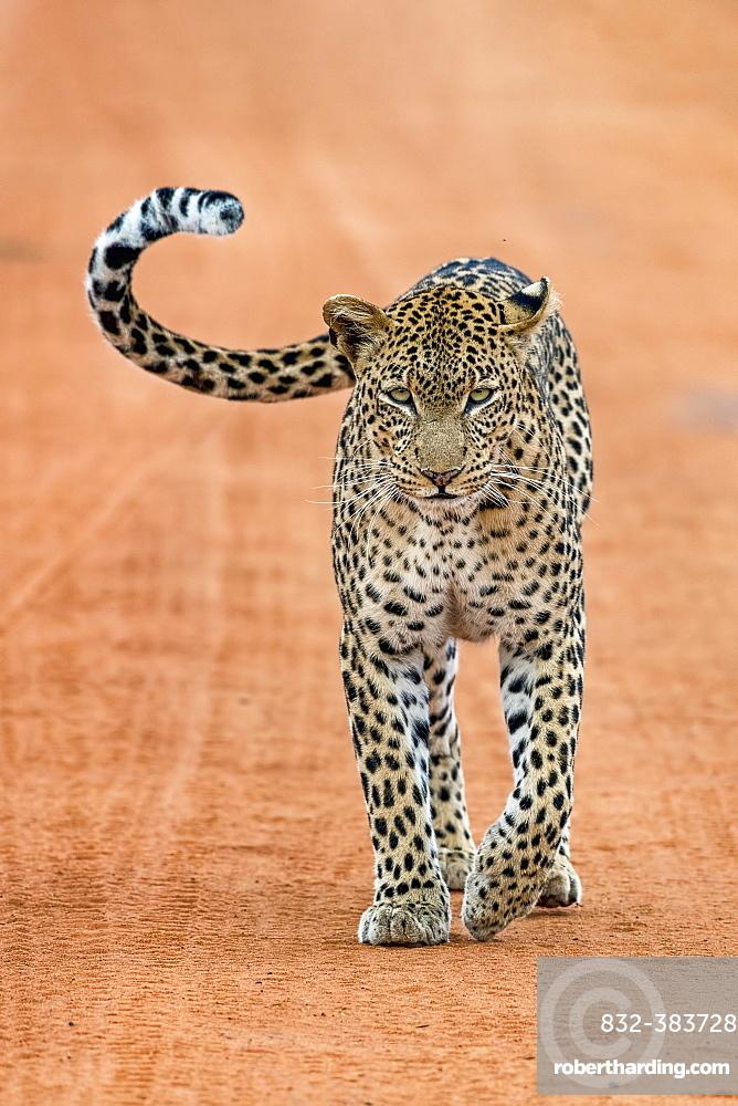 Leopard (Panthera pardus) stands on sand track, Tsavo West National Park, Kenya, Africa