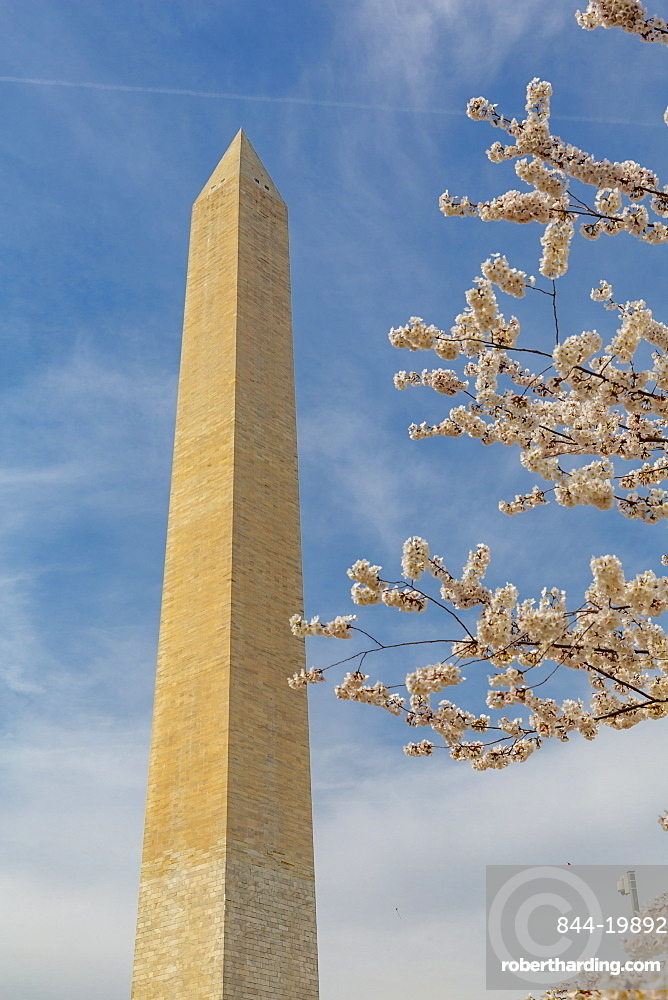 View of Washington Monument and spring blossom, Washington DC, District of Columbia, United States of America