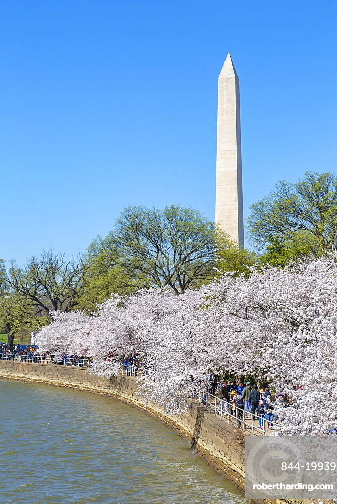 View of the Washington Mounment and cherry blossom trees, Washington D.C., United States of America, North America